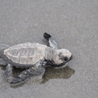 Baby Turtles Release